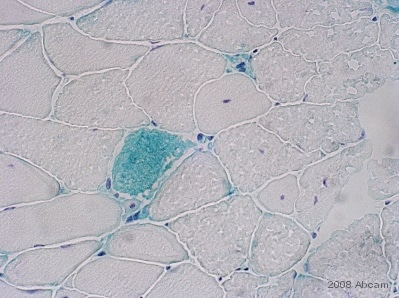 Immunohistochemistry (Frozen sections) - Anti-DCD antibody (ab52138)