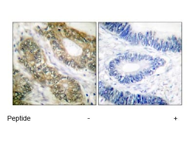 Immunohistochemistry (Formalin/PFA-fixed paraffin-embedded sections) - Anti-Separase antibody (ab52158)
