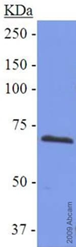 Western blot - Anti-COX2 / Cyclooxygenase 2 antibody (ab52237)
