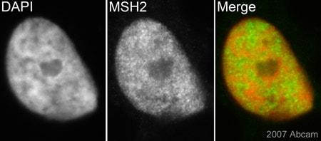 Immunocytochemistry/ Immunofluorescence - Anti-MSH2 antibody [3A2B8C] (ab52266)