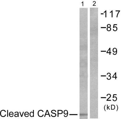 Western blot - Anti-Caspase-9 antibody (ab52298)