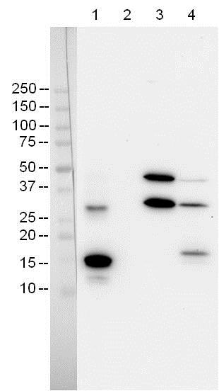 Western blot - Recombinant human Cleaved Caspase-3 protein (ab52314)