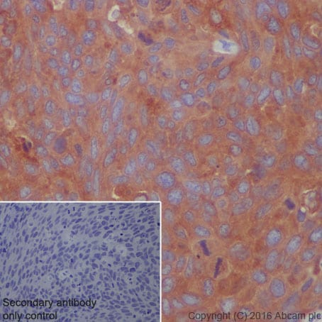 Immunohistochemistry (Formalin/PFA-fixed paraffin-embedded sections) - Anti-ATG7 antibody [EP1759Y] (ab52472)