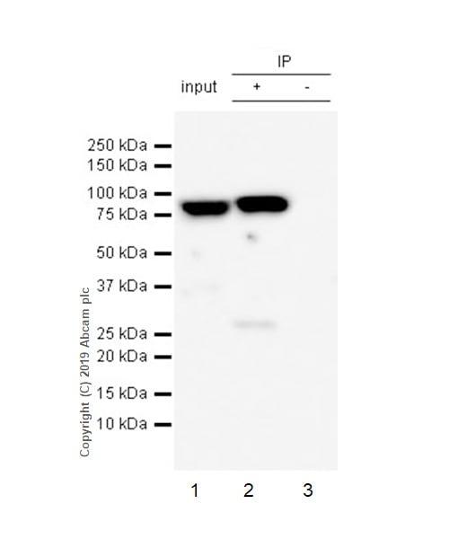 Immunoprecipitation - Anti-MCM7/PRL antibody [EP1974Y] (ab52489)