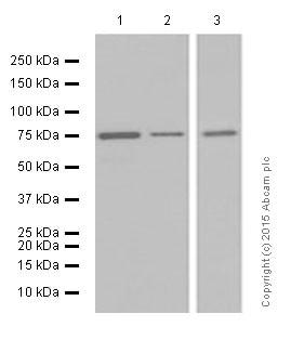 Western blot - Anti-Moesin antibody [EP1863Y] (ab52490)