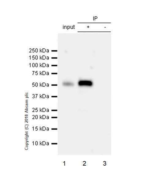 Immunoprecipitation - Anti-MST4 antibody [EP1864Y] (ab52491)