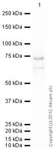 Western blot - Anti-MST4 antibody [EP1864Y] (ab52491)