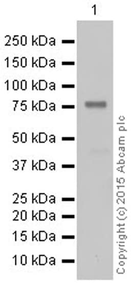 Western blot - Anti-PKC theta/PRKCQ antibody [EPR1488Y] (ab52494)