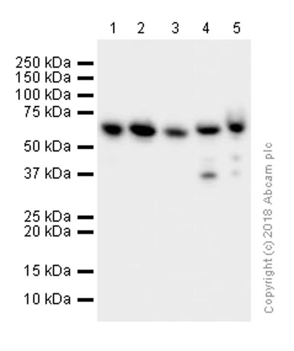 Recombinant Anti Hnrnp K Antibody Ep943y Ab52600 Abcam