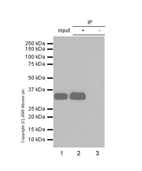 Immunoprecipitation - Anti-Apolipoprotein E antibody [EP1374Y] (ab52607)