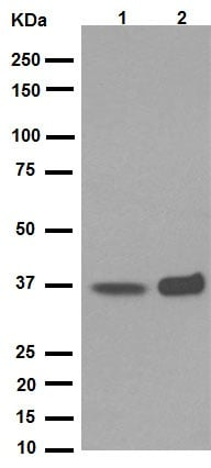 Western blot - Anti-PPP1CA + PPP1CB antibody [EP1511Y] (ab52619)