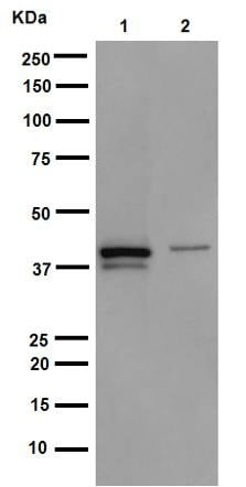 Western blot - Anti-Cytokeratin 19 antibody [EP1580Y] - Cytoskeleton Marker (ab52625)