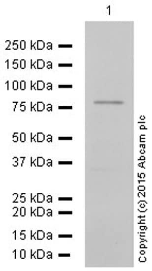 Western blot - Anti-Mark3 antibody [EPR633Y] (ab52626)