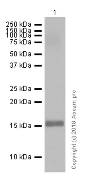 Western blot - Anti-Midkine antibody [EP1143Y] (ab52637)