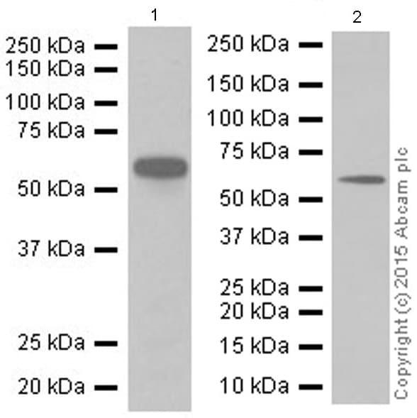 Western blot - Anti-STK3/MST-2 antibody [EP1466Y] (ab52641)