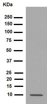 Western blot - Anti-S100 beta antibody [EP1576Y] - Astrocyte Marker (ab52642)