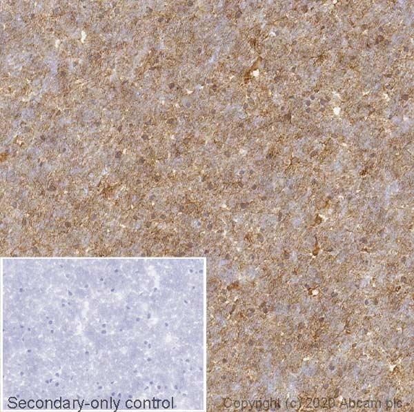 Immunohistochemistry (Frozen sections) - Anti-S100 beta antibody [EP1576Y] - Astrocyte Marker (ab52642)