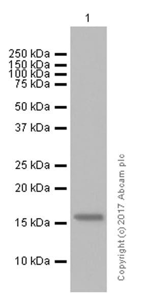 Western blot - Anti-Flt3 ligand/Flt3L antibody [EP1140Y] (ab52648)