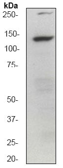 Western blot - Anti-GM130 antibody [EP892Y] - cis-Golgi Marker (ab52649)