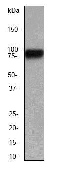 Western blot - Anti-HSF1 antibody [EP1710Y] (ab52757)