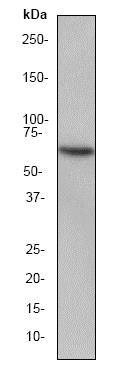 Western blot - Anti-HSF2 antibody [EPR1715Y] (ab52758)