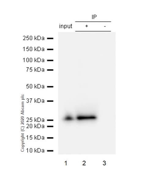 Immunoprecipitation - Anti-GSTK1 antibody [EP1938Y] (ab52759)