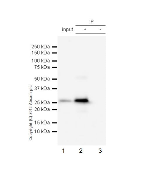 Immunoprecipitation - Anti-Cardiac Troponin I antibody [EP1106Y] (ab52862)