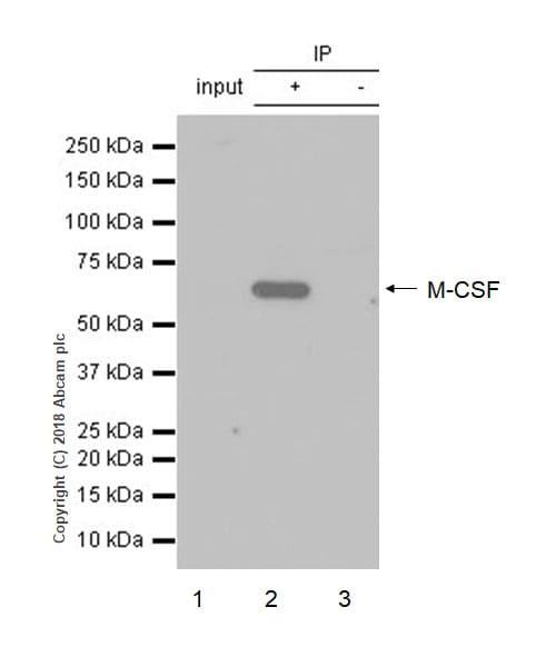 Immunoprecipitation - Anti-M-CSF antibody [EP1179Y] (ab52864)