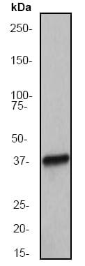 Western blot - Anti-Musashi 1 / Msi1 antibody [EP1302] (ab52865)