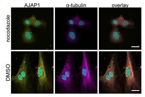 Immunocytochemistry/ Immunofluorescence - Anti-alpha Tubulin antibody [EP1332Y] - Microtubule Marker (ab52866)
