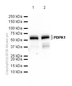 Western blot - Anti-PDPK1 antibody [EP569Y] (ab52893)