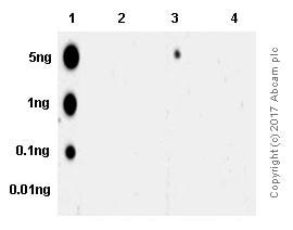 Dot Blot - Anti-Smad3 (phospho S423 + S425) antibody [EP823Y] (ab52903)