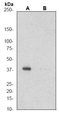 Western blot - Anti-CrkL (phospho Y207) antibody [EP270Y] (ab52908)
