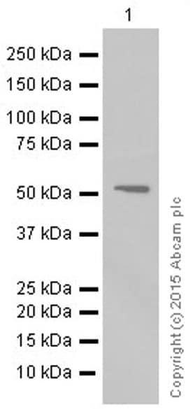 Western blot - Anti-MMP3 antibody [EP1186Y] (ab52915)