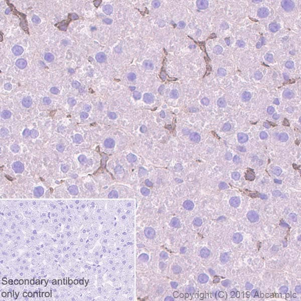 Immunohistochemistry (Formalin/PFA-fixed paraffin-embedded sections) - Anti-Ihh antibody [EP1192Y] (ab52919)