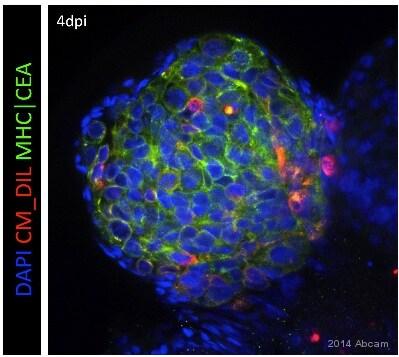 IHC - Wholemount - Anti-HLA A antibody [EP1395Y] (ab52922)