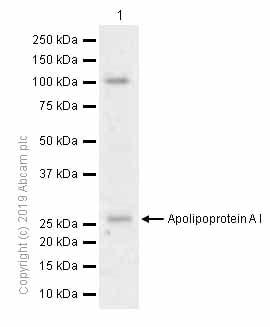 Western blot - Anti-Apolipoprotein A I antibody [EP1368Y] (ab52945)