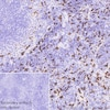 Immunohistochemistry (Formalin/PFA-fixed paraffin-embedded sections) - Anti-Heme Oxygenase 1 antibody [EP1391Y] (ab52947)