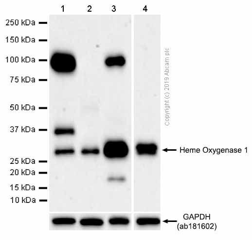 Western blot - Anti-Heme Oxygenase 1 antibody [EP1391Y] (ab52947)