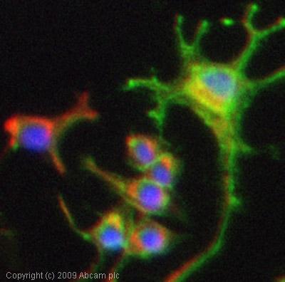 Immunocytochemistry/ Immunofluorescence - Anti-p75 NGF Receptor antibody [EP1039Y] (ab52987)