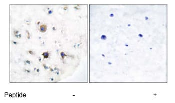 Immunohistochemistry (Formalin/PFA-fixed paraffin-embedded sections) - Anti-Ephrin B3 antibody (ab53063)