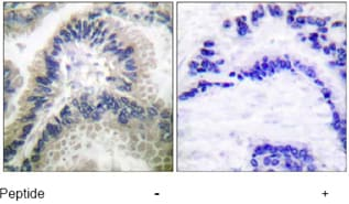 Immunohistochemistry (Formalin/PFA-fixed paraffin-embedded sections) - Anti-Guanylate Cyclase antibody (ab53084)
