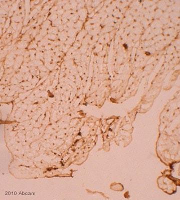Immunohistochemistry (Frozen sections) - Anti-Metabotropic Glutamate Receptor 4 antibody (ab53088)