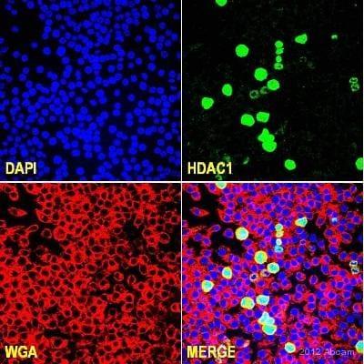 Immunocytochemistry/ Immunofluorescence - Anti-HDAC1 antibody (ab53091)