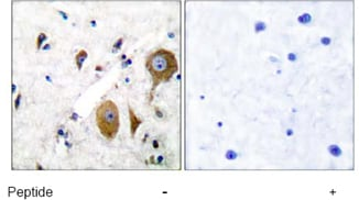 Immunohistochemistry (Formalin/PFA-fixed paraffin-embedded sections) - Anti-Metabotropic Glutamate Receptor 8 antibody (ab53094)