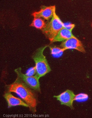 Immunocytochemistry/ Immunofluorescence - Anti-NRG1 antibody (ab53104)