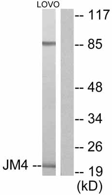 Western blot - Anti-JM4/PRAF2 antibody (ab53113)