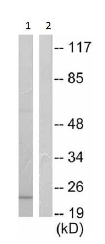 Western blot - Anti-Bax antibody (ab53154)