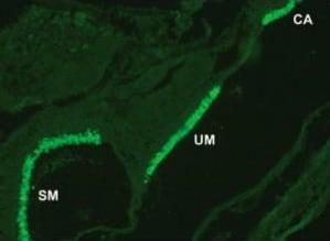 Immunocytochemistry/ Immunofluorescence - Anti-Otoferlin antibody [13A9] (ab53233)