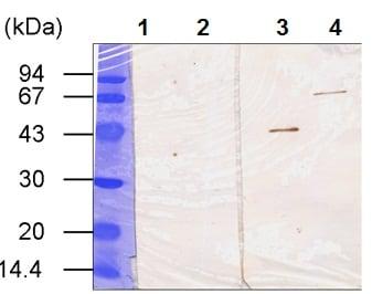 Western blot - Anti-TGE antibody [B5D] (ab53236)